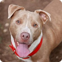 American Staffordshire Terrier Mix Dog for adoption in Kyle, Texas - CLAPTON