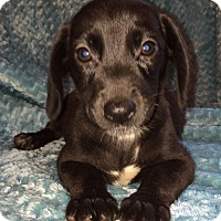 Adopt A Pet :: Libby - Kittery, ME
