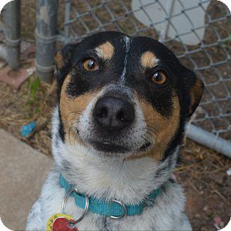 Australian Cattle Dog Mix Dog for adoption in Tulsa, Oklahoma - Elanore