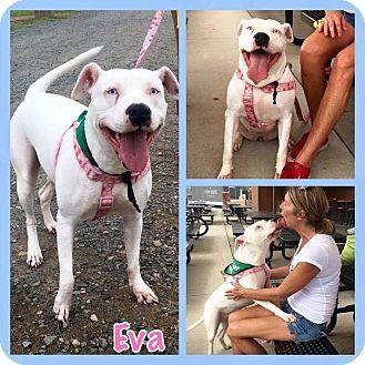 American Pit Bull Terrier Mix Dog for adoption in Charlotte, North Carolina - Eva