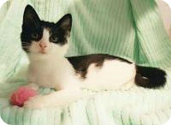 Domestic Shorthair Kitten for adoption in Raritan, New Jersey - Rosie