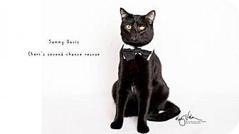 Bombay Cat for adoption in Yucca Valley, California - SAMMY DAVIS - UPLAND