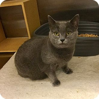 Domestic Shorthair Cat for adoption in Colmar, Pennsylvania - Gemma