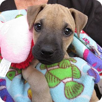 Black Mouth Cur/Labrador Retriever Mix Puppy for adoption in St Petersburg, Florida - Deena!  ADORABLE Puppy