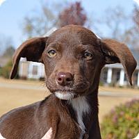 Labrador Retriever Mix Puppy for adoption in Allen town, Pennsylvania - Miracle