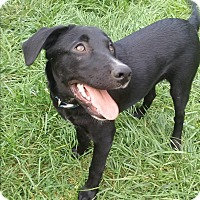 Labrador Retriever Mix Dog for adoption in Northeast, Ohio - Xena- HIGH ENERGY