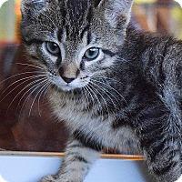 Adopt A Pet :: Baloo - Tampa, FL