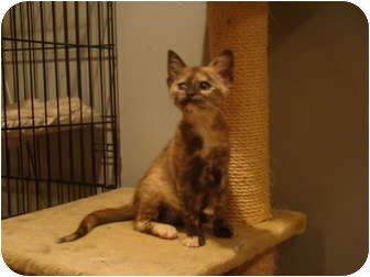 Domestic Shorthair Kitten for adoption in Muncie, Indiana - Mabel