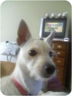 Westie, West Highland White Terrier/Chihuahua Mix Dog for adoption in Maple Park, Illinois - Princess