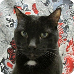 Domestic Shorthair Cat for adoption in Gilbert, Arizona - Louie