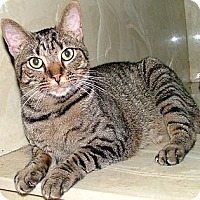 Domestic Shorthair Cat for adoption in Chattanooga, Tennessee - Billy
