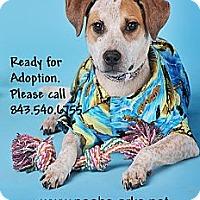 Adopt A Pet :: PILGRIM - Okatie, SC