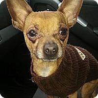 Adopt A Pet :: Amigo (ADOPTED!) - Chicago, IL
