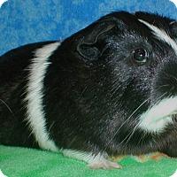 Adopt A Pet :: Oreo - Steger, IL