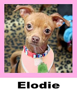 Chihuahua Mix Dog for adoption in Wichita Falls, Texas - Elodie