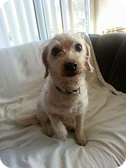 Poodle (Miniature)/Terrier (Unknown Type, Small) Mix Dog for adoption in Temecula, California - Honey