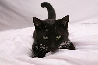 Domestic Shorthair Cat for adoption in Elizabethtown, Pennsylvania - Tink