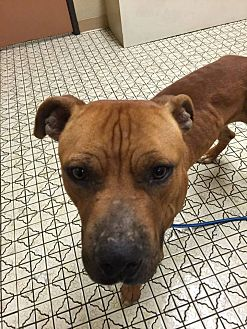 American Pit Bull Terrier Mix Dog for adoption in Las Vegas, Nevada - Nick
