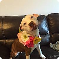 Adopt A Pet :: Alice - Villa Park, IL