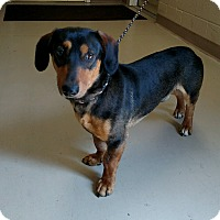 Adopt A Pet :: Itchi - Decatur, AL
