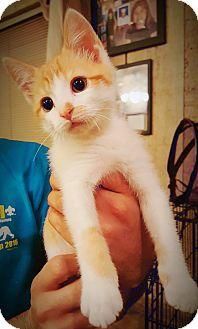 Domestic Mediumhair Kitten for adoption in DFW, Texas - Harley