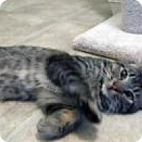 Domestic Shorthair Cat for adoption in Mission Viejo, California - Timmy, Special Boy