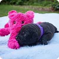 Adopt A Pet :: Sibley - Rochester, NY