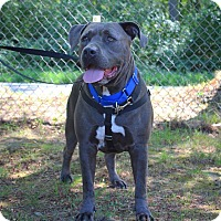 Bullmastiff Mix Dog for adoption in North Kingstown, Rhode Island - Stewie