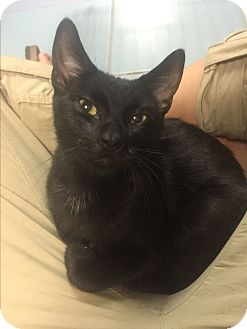 Domestic Shorthair Cat for adoption in New  York City, New York - Colada