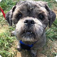 Shih Tzu Dog for adoption in Washington, D.C. - Rome
