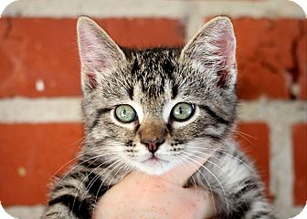 Domestic Mediumhair Kitten for adoption in College Station, Texas - Biv