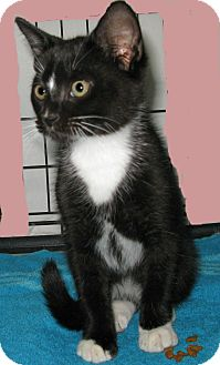 Domestic Mediumhair Kitten for adoption in Bedford, Virginia - Pinch