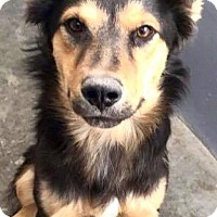 Australian Shepherd Mix Dog for adoption in Staunton, Virginia - Captain