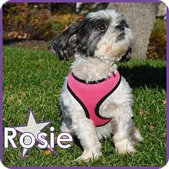 Shih Tzu Dog for adoption in Excelsior, Minnesota - Rosie