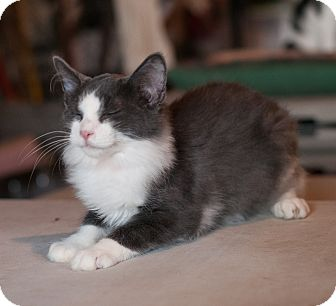 Domestic Mediumhair Cat for adoption in Faribault, Minnesota - Baboo
