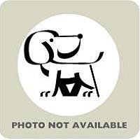 Adopt A Pet :: BELLA - Terre Haute, IN