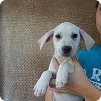 Adopt A Pet :: Kuma - Oviedo, FL