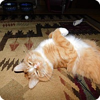 Maine Coon Cat for adoption in Warminster, Pennsylvania - Cooper