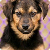 Adopt A Pet :: SHEP - currently in foster - Roanoke, VA