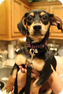 Miniature Pinscher Mix Puppy for adoption in Bedminster, New Jersey - Delilah