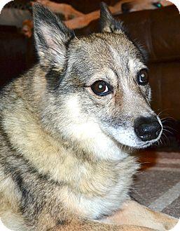 Husky/Welsh Corgi Mix Dog for adoption in Marietta, Georgia - Willow