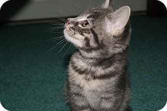 Domestic Shorthair Kitten for adoption in Bensalem, Pennsylvania - Fuzzer