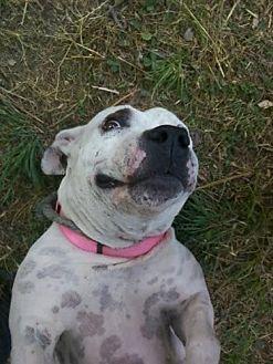 Bull Terrier/Basset Hound Mix Dog for adoption in Austin, Texas - BeBe