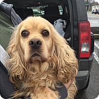 Adopt A Pet :: Laura - Oak Ridge, NJ
