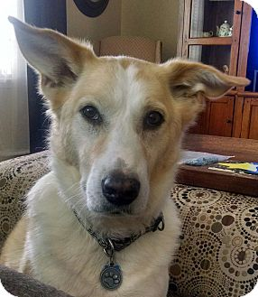 Collie Mix Dog for adoption in Boiling Springs, Pennsylvania - Justin