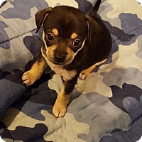 Adopt A Pet :: Min/Pin Chihuahua puppies - Sinking Spring, PA