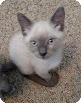 Domestic Shorthair Kitten for adoption in San Jose, California - Jenna
