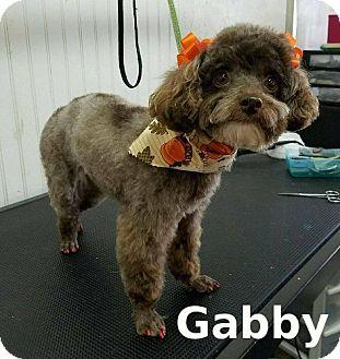 Poodle (Miniature) Dog for adoption in Shreveport, Louisiana - Gabby