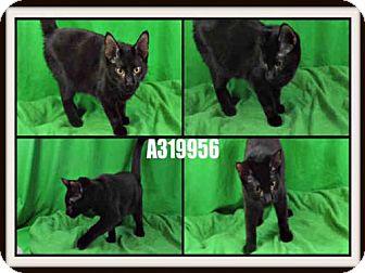 Domestic Mediumhair Cat for adoption in St. Peters, Missouri - BINGIE