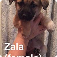 Adopt A Pet :: Zala - Olympia, WA
